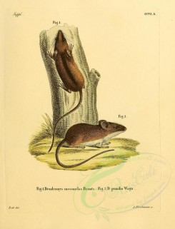 rodents-00197 - Brant's climbing mouse, Dendromys Pumilio (Latin) [2348x3074]