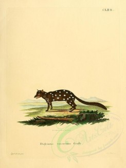 rodents-00313 - Native Cat or Eastern Quoll [2304x3074]