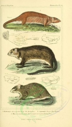 rodents-00386 - Hydromys, Houtia, Sarmulot or Common Norway Rat [1826x3199]