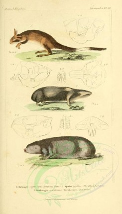 rodents-00387 - Jumping Hare, Blind Rat Mole, Maritime Rat Mole [1826x3199]