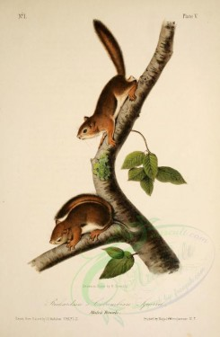 rodents-00492 - Richardson's Columbian Squirrel [1876x2869]