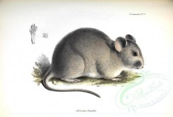 rodents_best-00001 - Bennett's chinchilla rat [3611x2445]