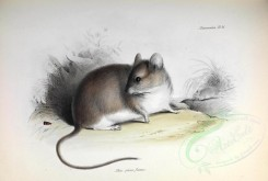 rodents_best-00009 - Gray Leaf-eared Mouse [3506x2363]