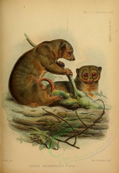 rodents_best-00035 - Sulawesi dwarf cuscus [2345x3410]