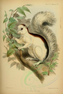 rodents_best-00037 - Variegated Squirrel [2300x3455]