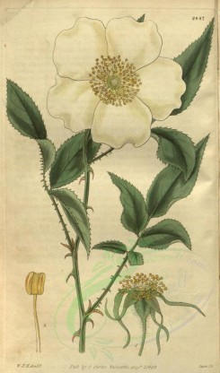 roses_flowers-00043 - 2847-rosa sinica, Three-leaved Chinese Rose [1983x3366]
