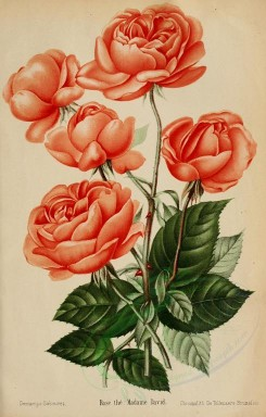 roses_flowers-00355 - 018-Rose - Madame David [2525x3950]