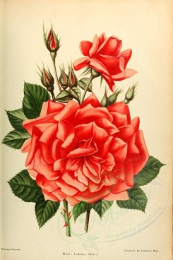 roses_flowers-00367 - 005-Rose - Indiana [2033x3053]