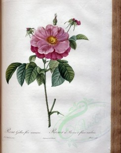 roses_flowers-00439 - rosa gallica flore marmoreo [3400x4300]