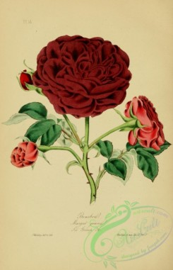roses_flowers-00763 - Bourbon Rose
