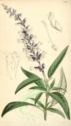 sage-00020 - 4318-salvia leucantha, White-flowered Salvia [1946x3436]