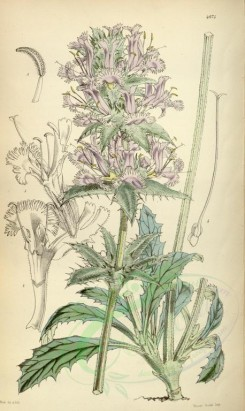 sage-00021 - 4874-salvia carduacea, Thistle-leaved Sage [2112x3535]