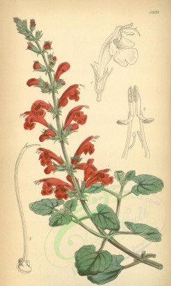 sage-00023 - 4939-salvia porphyrata, Bright red-flowered Sage [2073x3458]