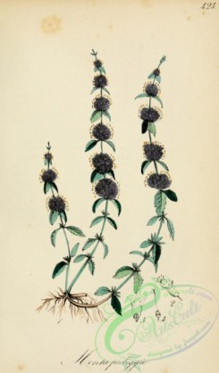sage-00252 - salvia officinalis