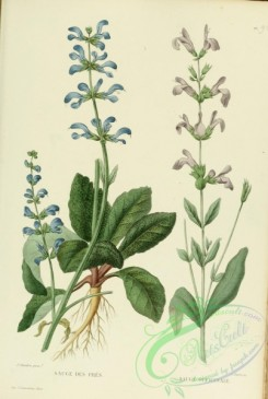 sage-00263 - salvia pratensis, salvia officinalis