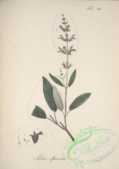 sage-00266 - salvia officinalis