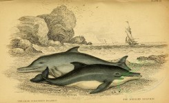 sea_animals-00134 - Lead coloured Dolphin, Bridled Dolphin [3118x1908]