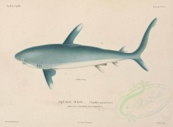 sea_animals-00163 - Oceanic whitetip Shark [4806x3541]