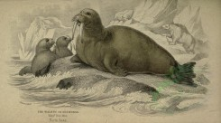 sea_animals-00208 - Walrus or Sea-Horse [3710x2058]