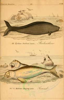 sea_animals-00241 - rytina stelleri, halicore dugong [2398x3765]