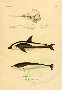 sea_animals-00251 - delphinus cruciger, delphinus peronii [2673x3890]