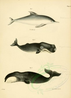 sea_animals-00285 - Sea Porpoise, Whales [2262x3097]
