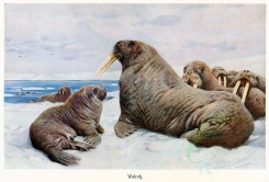 sea_animals-00356 - Walrus [3204x2176]