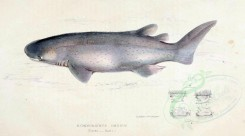 sea_animals-00370 - Bramble Shark [3174x1766]