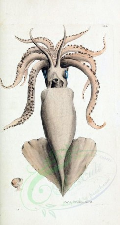 sea_animals-00422 - Calamary [1796x3363]