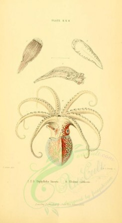 sea_animals-00504 - diphyllidia lineata, eledone cirrhosus [1906x3466]