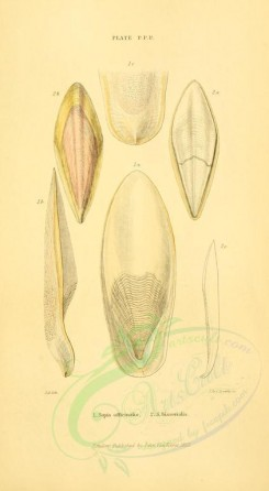 sea_animals-00511 - sepia officinalis, sepia bisserialis [1906x3466]