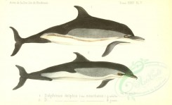 sea_animals-00521 - delphinus delphis moschatus [3614x2200]