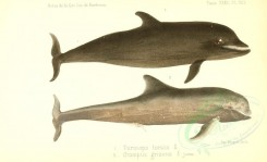 sea_animals-00524 - tursiops tursio, grampus griseus [3614x2200]