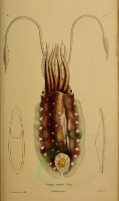 sea_animals-00553 - sepia ornata [2269x3817]
