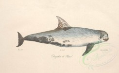 sea_animals-00578 - Dolphin, 1 [4126x2523]