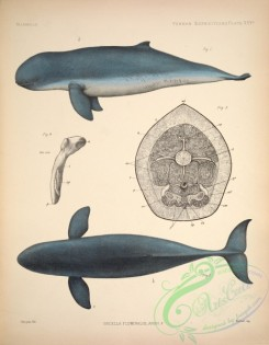 sea_animals-00607 - orcella fluminalis