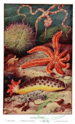 sea_animals-00609 - Sea-urchin, Black Sea-cucumber, Brittle Star, Common Starfish