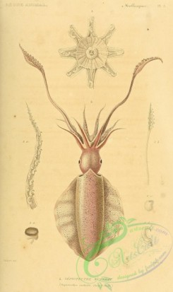 sea_animals-00617 - sepioteuthis australis