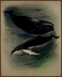 sea_animals-00618 - Atlantic Right Whale, Humpbacked Whale