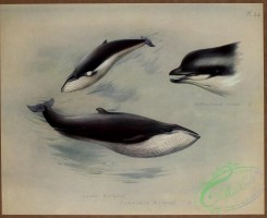 sea_animals-00619 - Bottle-nosed Whale, Lesser Rorqual, Rudolphi's Rorqual