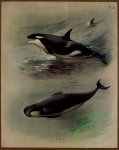 sea_animals-00622 - Killer Whale, Pilot Whale