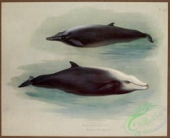 sea_animals-00624 - Sowerby's Whale, Cuvier's Whale
