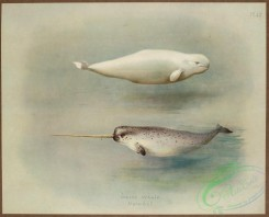 sea_animals-00625 - White Whale, Narwhal