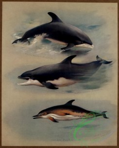 sea_animals-00626 - White-beaked Dolphin, Bottle-nosed Dolphin, Common Dolphin