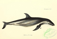 sea_animals-00627 - delphinus fitz-royi