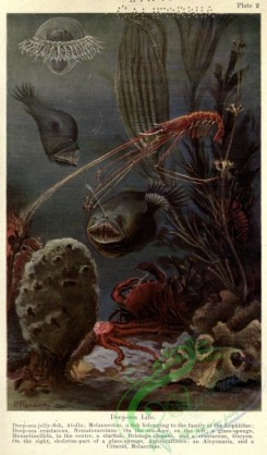 sea_animals-00649 - Deep-sea life