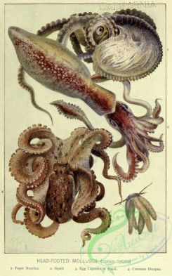 sea_animals-00653 - Paper Nautilus, Squid, Common Octopus