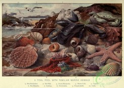 sea_animals-00654 - Sea-anemone, Star-fish, Acorn-Barnacles, Shore-crab, Cockles, Sea-Mussels, Scallop, Periwinkles, Purple-shells, Gulls