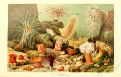 sea_animals-00657 - Sea Anemones