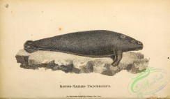 sea_animals_bw-00148 - 003-Round-tailed Trichechus